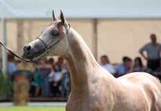 Arabian filly Royalty Free Stock Images