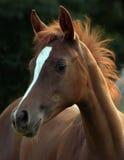 Arabian Filly. Close up portrait Stock Photo