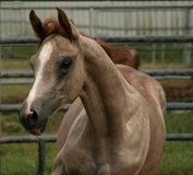 Arabian Filly. Close up of a young grey Arabian filly running Stock Photos