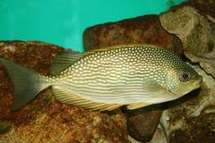Arabian fish Stock Photo