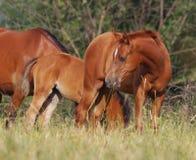 Arabian foal Stock Image