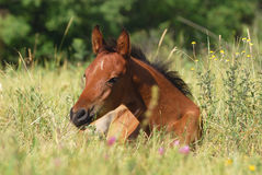 Arabian foal Royalty Free Stock Photos