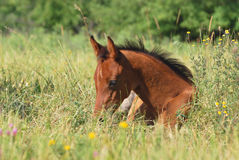 Arabian foal Royalty Free Stock Photography