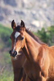 Arabian foal Royalty Free Stock Images
