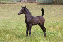 Arabian foal Stock Photo