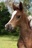 Arabian Foal. Portrait of an Arabian foals head Stock Photography