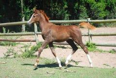 Arabian foal Royalty Free Stock Photo