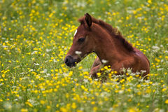 Arabian foal. In the buttercups Stock Photo