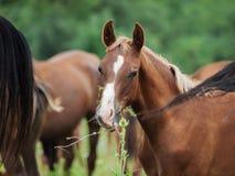 Arabian foal among herd at pasture.  royalty free stock photos