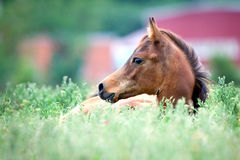 Arabian foal lying in field in a grass Stock Images