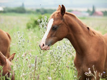 Arabian foal at the pasture.  Stock Images