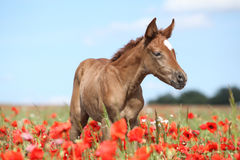 Arabian foal in red poppy field Stock Photo