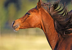 Arabian Foal running Stock Image