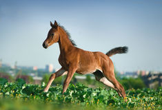 Arabian foal running in the field Royalty Free Stock Images