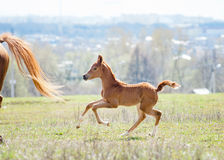 Arabian foal Stock Photos
