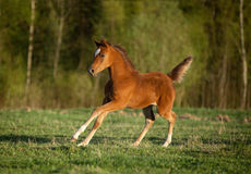 Arabian foal runs free Stock Photography