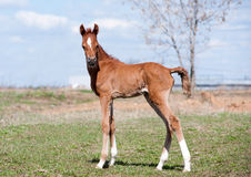 Arabian foal in spring time Royalty Free Stock Photo