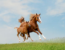 Arabian free horse Stock Photos