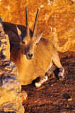 Arabian Gazelle. Royalty Free Stock Photos