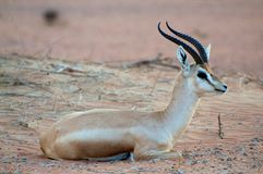 Arabian gazelle Stock Images