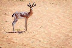 Arabian Gazelle Royalty Free Stock Images