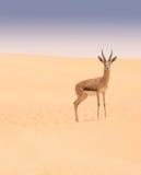 Arabian gazelle, Dubai Desert Conservation Area, UAE Stock Photography