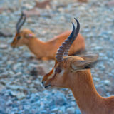 Arabian Gazelle. Found mainly in middle east region stock photos