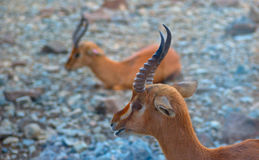 Arabian Gazelle. Found mainly in middle east region royalty free stock photo