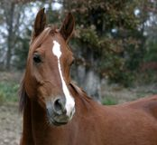 Arabian Gelding. Head shot of chestnut arabian gelding Stock Photos