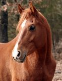 Arabian gelding. Chestnut arabian gelding looking back over his shoulder Royalty Free Stock Photos