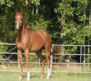 Arabian Gelding. Standing in field Royalty Free Stock Photo