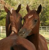 Arabian Geldings Stock Photos