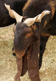 A Arabian goat with long ears and twisted horns. Goats are one of the oldest domesticated species. Goats have been used for their milk, meat, hair, and skins royalty free stock photo