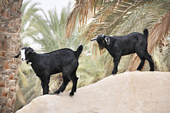 Arabian Goats Near by Palm Tree Royalty Free Stock Photography