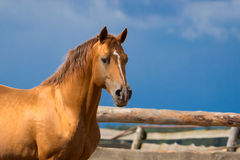 Arabian gold horse Stock Image