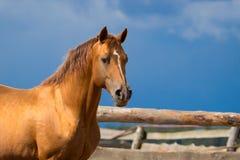 Arabian gold horse. On sky Stock Image