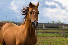 Arabian gold horse. On sky Stock Images