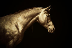 Arabian gold horse portrait on black background, colored art Stock Image