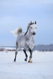 Arabian gray horse runs on snow field. Royalty Free Stock Photos