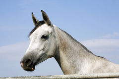 Arabian gray horse standing in corral at summertime Stock Image