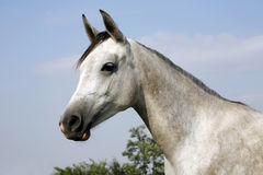 Arabian gray horse standing in corral at summertime Royalty Free Stock Photography