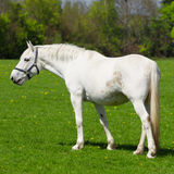 Arabian grey horse in  field Royalty Free Stock Image