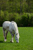 Arabian grey horse Stock Photo