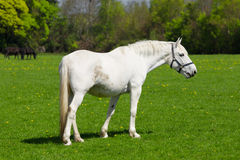 Arabian grey horse Royalty Free Stock Photography