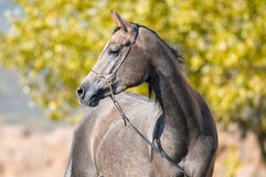 Arabian grey horse portrait in summer Stock Photo