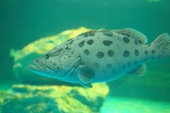 Arabian grouper Stock Image