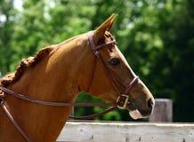 Arabian Head with Bridle. Arabian Gelding with english pleasure bridle royalty free stock image