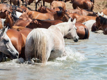 Arabian herd in the lake Royalty Free Stock Photos