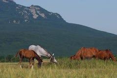 Arabian herd on pasture Royalty Free Stock Photo
