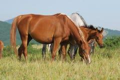 Arabian herd on pasture Royalty Free Stock Images